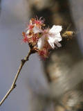 Bee Alights on a Cherry Tree at the Brooklyn Botanic Garden in New York Photographic Print