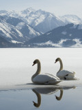 Two Swans are Sitting on the Partly Frozen Lake Zeller, Austria Photographic Print