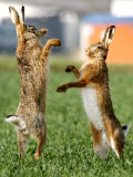 Hares Fight on a Field Near Frankfurt Photographic Print