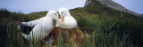 Wandering Albatross Mated Pair Bonding at the Nest, Bird Island, South Georgia Island Photographic Print by  Panoramic Images