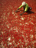 Villager Dries Red Chilies at Rambha, India Photographic Print