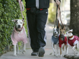 Dogs Wear their Winter Jackets, Walking with their Owner in Unseasonably Cool Weather, Miami Beach Photographic Print