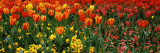 Tulips in a Field, St. James's Park, City of Westminster, London, England Fotografie-Druck von  Panoramic Images