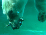One of the Polar Bears at Budapest Zoo Catches a Fish in Her Mouth While Diving in the Pool Photographic Print