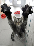 Cat Stretches on a Glass Door in the Animal Shelter in Berlin Photographic Print