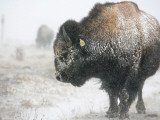 Buffalo Looks for Something to Eat in Blowing Snow at the Terry Bison Ranch, Wyoming Photographic Print