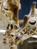 Giraffe Calf is Seen with Her Father and Her Mother at the Berlin Zoo Fotografisk tryk