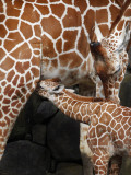 Young Female Giraffe is Nursed by Her Mother at Kanazawa Zoological Park in Yokohama Photographic Print