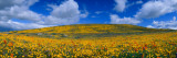 California Golden Poppies Blooming, Antelope Valley California Poppy Reserve, Antelope Valley Photographic Print by  Panoramic Images