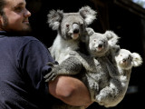 Head Keeper at Sydney's Koala Park Holds 'Kamara' and Her Two One Year-Old Babies Photographic Print
