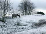 Horse Grazes on a Snow Covered Field in Bearsted in Kent, England Photographic Print