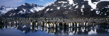 King Penguin Colony on the Coast, South Georgia Island Photographie par Panoramic Images