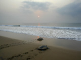 Olive Ridley Turtles Return to the Bay of Bengal Sea after Laying Eggs on Gokhurkuda Beach, India Fotografie-Druck