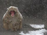 Snow Monkey, Takes a Break from Bathing in Hot Springs, During a Snow Storm at the Central Park Zoo Photographic Print