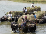 Bangladeshi Farmers Carry Harvested Rice Crops Through a Canal on Buffalo Carts Photographic Print