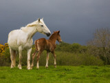 Mare and Foal, Co Derry, Ireland Photographic Print