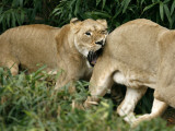 Two New Female Lions Explore their New Habitat at the Smithsonian's National Zoo in Washington Photographic Print