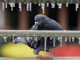 Pigeon Slides Along the Ice in Downtown San Antonio, Photographic Print