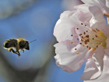 Bee Flies Towards the Blossom of an Almond Tree in a Park in Freiburg, Southern Germany Photographic Print