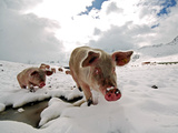 Pigs Make their Way Through a Snowy Landscape Near the Alpine Village of Schruns in Austria Photographic Print