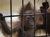 Young Orangutan Hold on to the Bars of a Cage at the Duisburg Zoo Photographic Print