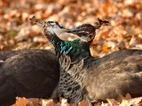 Two Peacocks Peck at Each Other Amidst Autumn Leaves in the Lazienki Park in Warsaw, Poland Photographic Print
