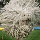 Hungarian Puli Sheep Dog, Fee, Jumps over a Hurdle During a Preview for a Pedigree Dog Show Photographic Print