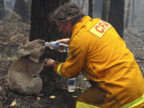 Firefighter Shares His Water an Injured Australian Koala after Wildfires Swept Through the Region Photographic Print