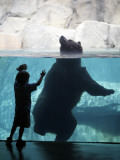 Andrew Zimmerman Watches a Grizzly Bear Swim in a Pool in the Exhibit at the Brookfield Zoo Photographic Print