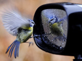 Blue Tit is Reflected in a Wing Mirror of a Car That is Covered with Raindrops Photographie