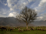 Sheep Graze on the Outskirts of Srinagar, India Photographic Print