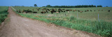 Cows Grazing in a Field, Jackson County, Kansas, USA Photographic Print by  Panoramic Images