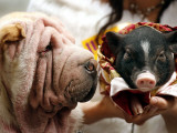 Dog and a Pig are Displayed During a Promotional Event at a Hong Kong Shopping Mall Fotografie-Druck