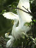 Egret Keeps Her Baby under Her Wing on a Tree, on the Banks of the River Brahmaputra in India Photographic Print