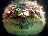 Snapping Turtle Swims in an Exotic Animal Shop Aquarium in Downtown Varna, Bulgaria Photographic Print