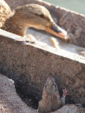 Rat Peeps from a Hole as a Duck Sits in the Sun in a Park Lazienki in Warsaw, Poland Photographic Print