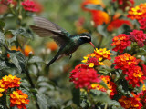 Hummingbird Hovers over a Patch of Flowers as it Collects Nectar in Mexico City Photographic Print