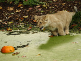 Asian Lion Cub Attempts to Retrieve a Pumpkin from the Pond at the London Zoo Photographic Print