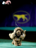 Sussex Spaniel at the 133rd Westminster Kennel Club Dog Show at Madison Square Garden Photographic Print