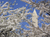 Washington Monument Peers in Between the Blossoming Cherry Trees in Washington Photographic Print