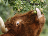 One of a Herd of Scottish Highland Cattle Picks Pears from a Tree in Gockhausen, Switzerland Photographic Print