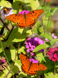 Pair of Passion Butterflies Perch on Flowers at a Houston Park Lámina fotográfica