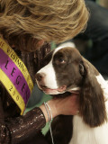 English Springer Spaniel after Winning Best in Show at the 131st Westminster Dog Show in New York Photographic Print