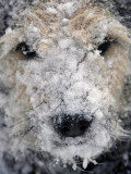 Dog's Snout is Covered in Snow with Frozen Whiskers after Romping Outdoors in West Bath, Maine Photographic Print