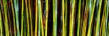 Panoramic Images - Bamboo Trees in Botanical Garden, Kanapaha Botanical Gardens, Gainesville, Alachua County, Florida - Fotografik Baskı