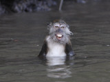 Long-Tailed Macaque Monkey Sits in the Water after Taking Food from a Tourist Boat in Malaysia Photographic Print