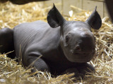 New Born Rhinoceros Zawadi Lifts its Head at the Zoo in Berlin Photographic Print