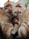 Crab-Eating Macaques Huddle Together to Fend Off Cold Front Lingering over Taiwan as a Young Feeds Photographic Print