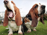 Bassethounds Pose in Dortmund, Germany Photographic Print