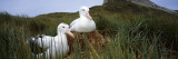 Wandering Albatross Mated Pair in a Nest, Bird Island, South Georgia Island Photographic Print by  Panoramic Images